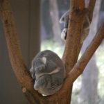 金沢自然公園でコアラ。