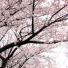 都内で桜いろいろ2012