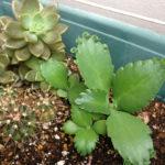 フラクタル植物4年目の6月