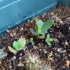 フラクタル植物4年目の5月