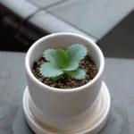 フラクタル植物2年目の9月。